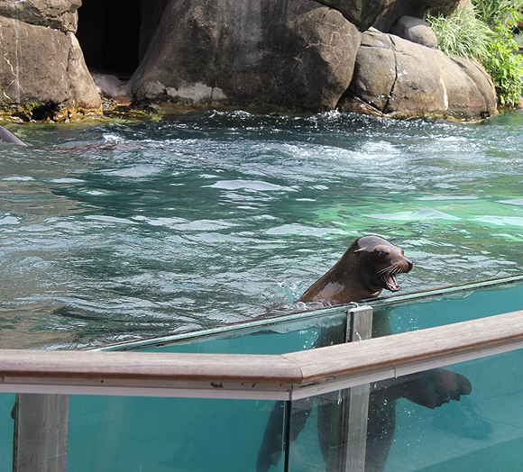 Sea Lion at Central Park Zoo