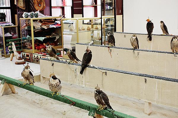 falconry qatar 1